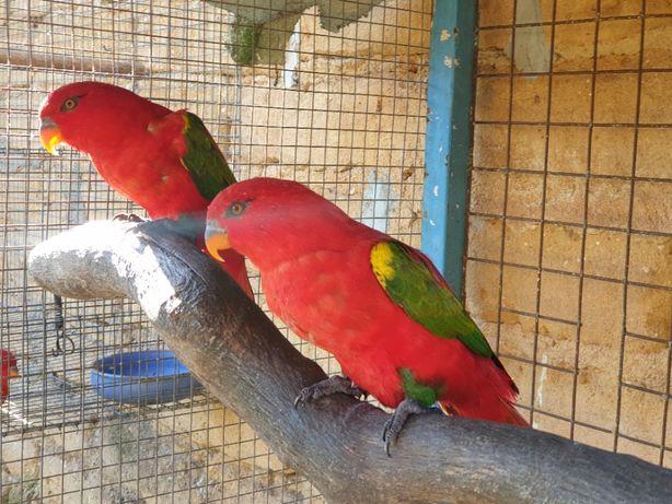 Casal Papagaio Loris Lorius Garrulus Adultos