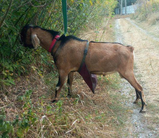 Фартук для козла - 100% контрацепция для коз
