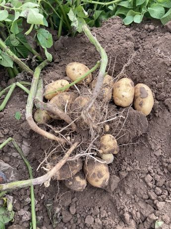 Młode ziemniaki odmiany denar z rodzinnego gospodarstwa
