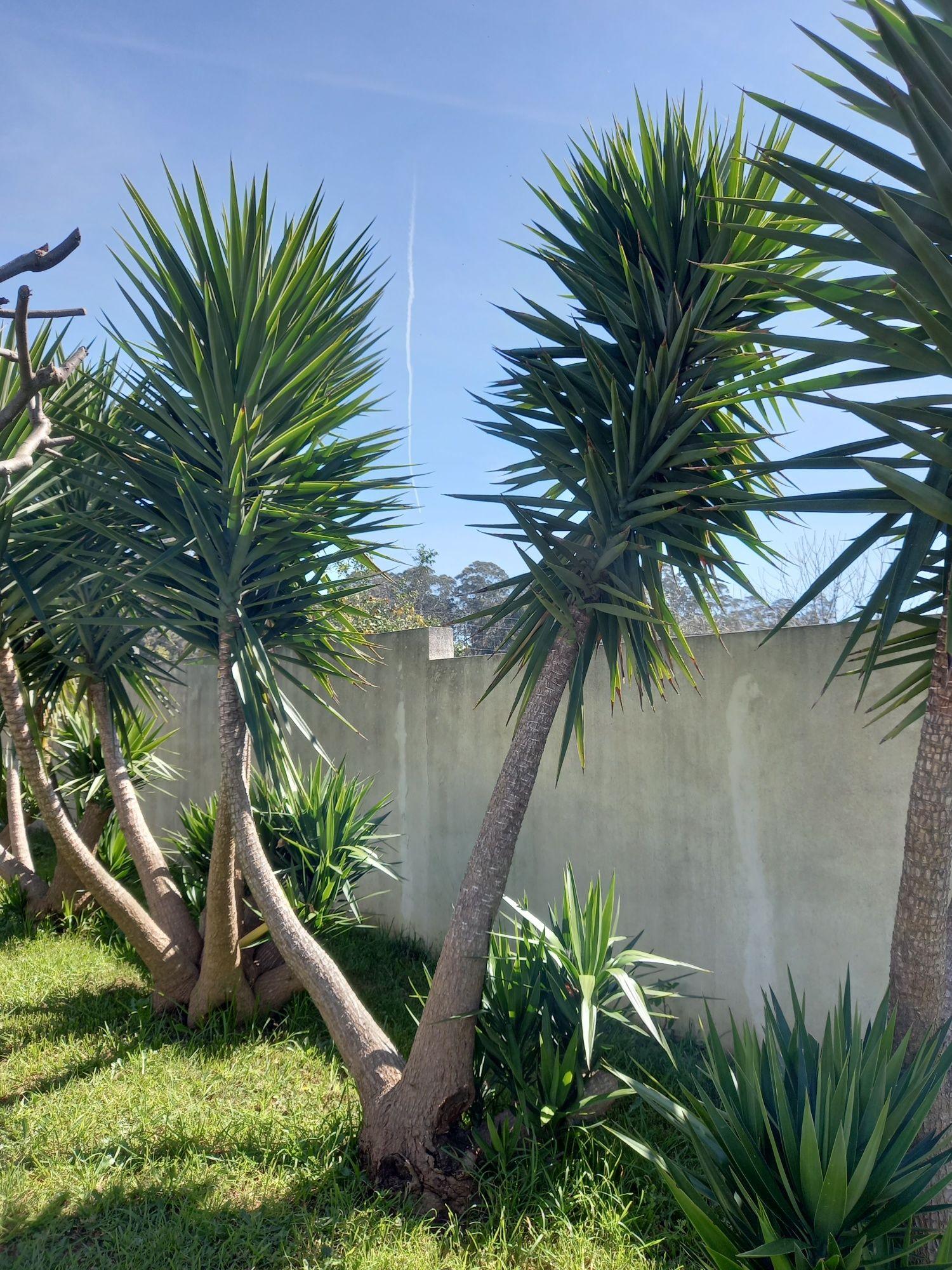 Palmeiras de Iucas ou plantas de água grandes para jardim