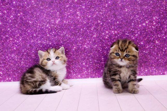 Милейшие котята шотландской породы