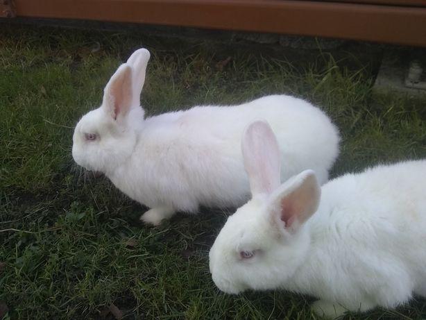 Samce króliki termondzkie
