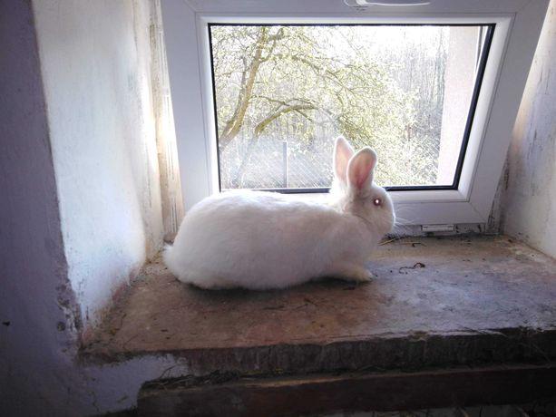 Samica nowozelandzka królik