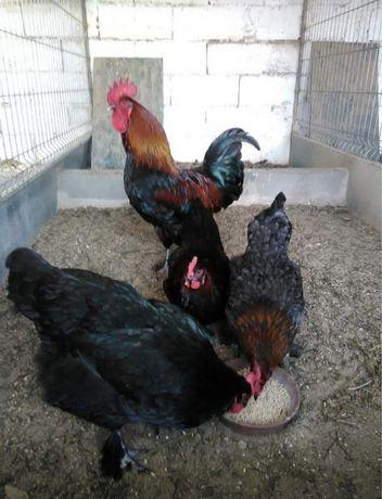 Galinhas de raça e ovos para incubação Brahma, Marans, Indio Gigante,