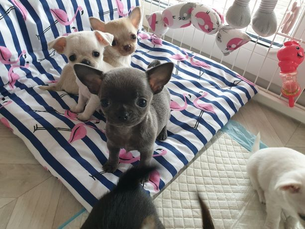 Chihuahua, niebieska suczka