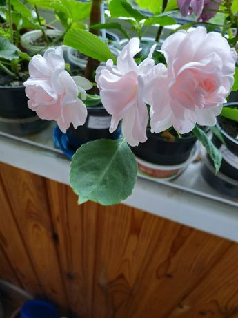 Бальзамины более 15 сортов, пеларгония (герань) розебудная, пилея