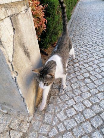 Piteco, Gato jovem castrado precisa de bom adoptante