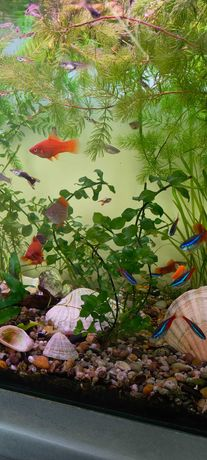 Rogatka akwariowa, bacopa monnieri, rogatek, bakopa drobnolistna