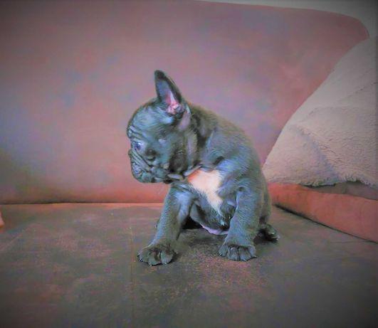 Buldog Francuski czarny piesek z genem blue