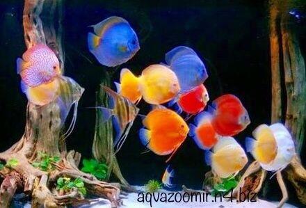 Рэд Мап Дискус Аквариумные Рыбки