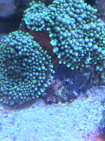 Ricordea akwarium morskie
