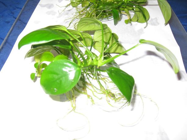Анубиас нана, аквариумное растение