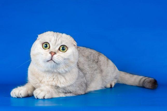 Котик серебристая шиншилла приглашает на вязку