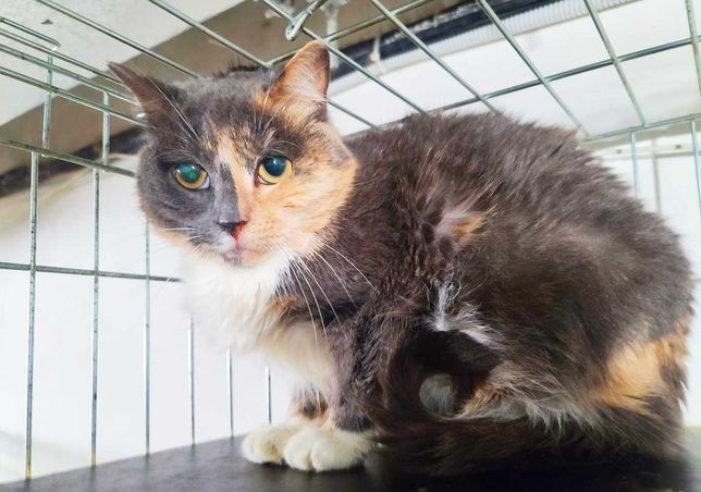 Унікальний окрас - киця Соната | кошка, кошечка 1 рік