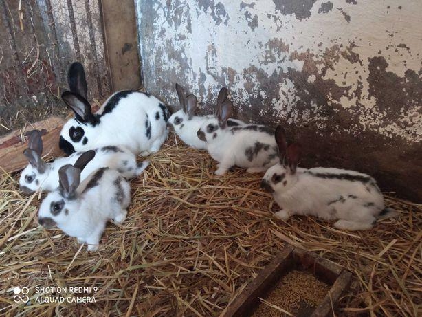 Królik, króliki olbrzym belgijski i srokacz niemiecki