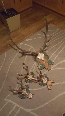 Sprzedam rogi jelenia