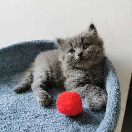 Kocur brytyjski długowłosy z rodowodem. Kot brytyjski niebieski. Kotki