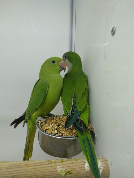 Индийский кольчатый попугай, Ожереловый попугай