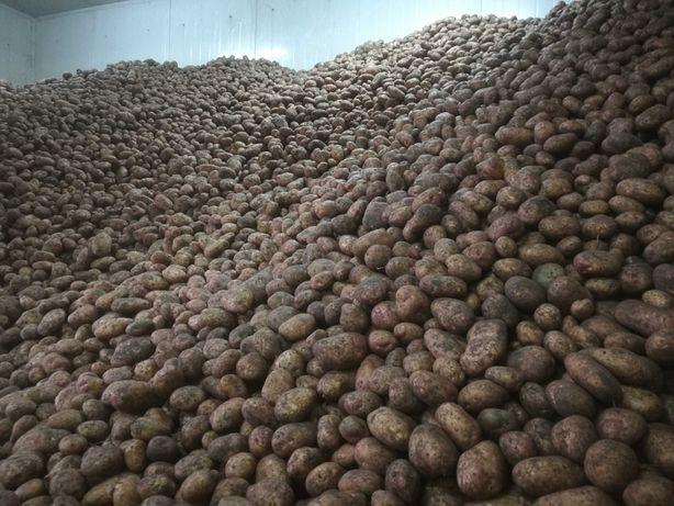 Ziemniaki jadalne/paszowe, transport, tylko hurt pow. 500 kg