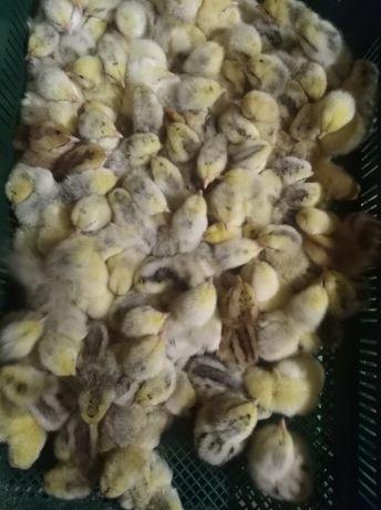Цыпленок суточный