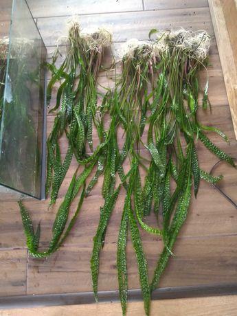 roślina akwariowa