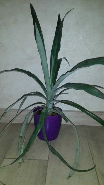 Кімнатний ананас