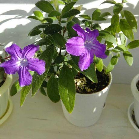 Руэллия каролинская - бархатные цветы меняющие цвет.