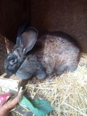 Кролики простяки