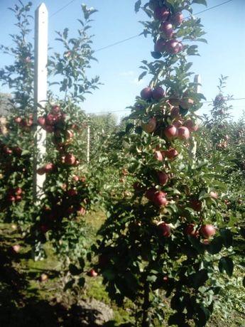 Sprzedam jabłka prince oraz red ligol