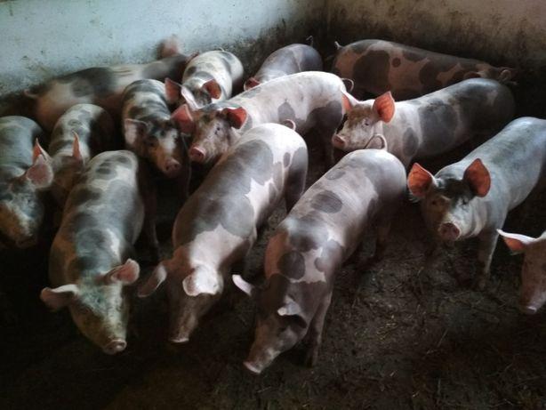 Продам свиней живым весом породы петрен и Ф1