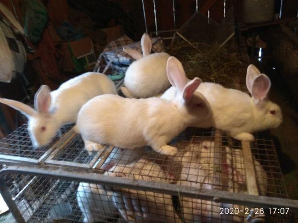 Продаються кролики, кролі породи Термондська біла.Термон.