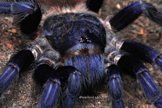 Pterinopelma sazimai самка паука птицееда для новичков подросток
