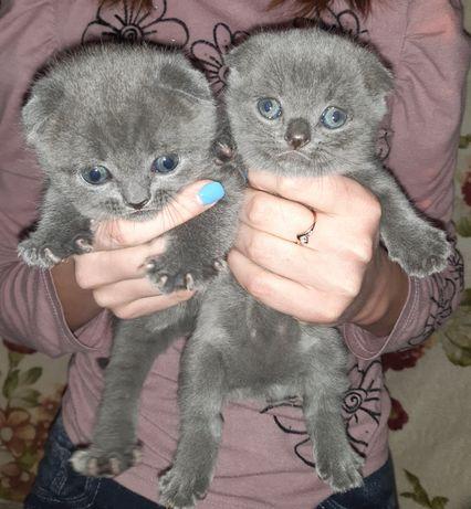 Котята Британци.