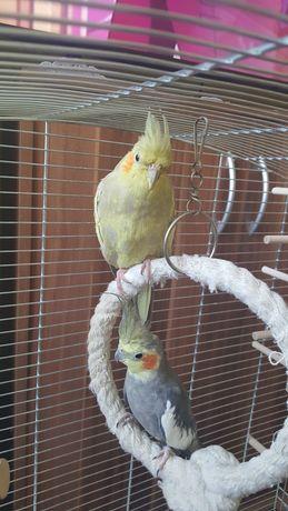 Papugi nimfy parka Z nową klatką