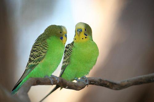 Papugi faliste wystawowe papuga falista papużki faliste