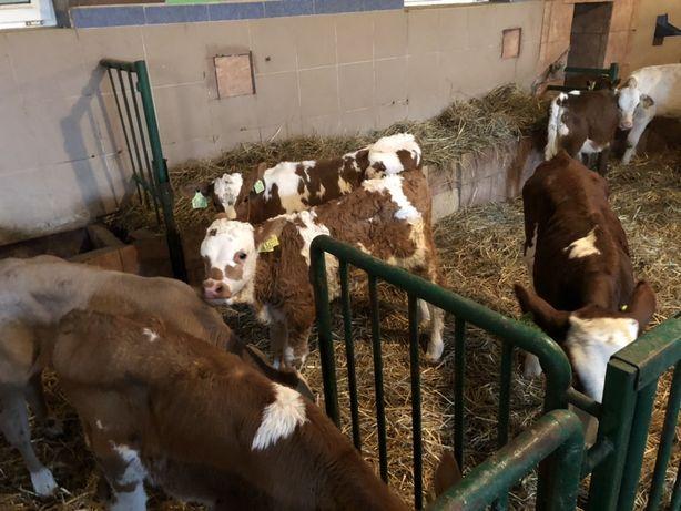 Byczki Koło