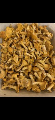 Kurki grzyby świeże