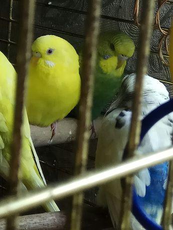 Попугайчики для разговора