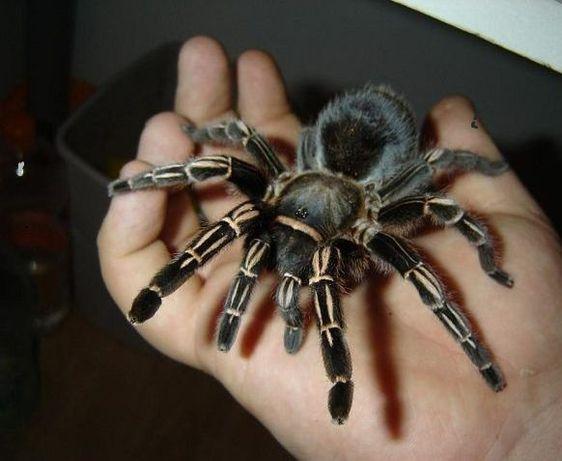 Павуха екзотична тварина павук тарантул для новачків