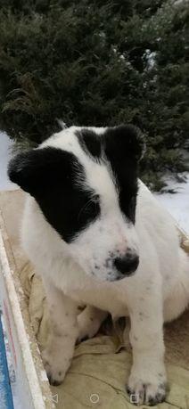Продаётся Алиментный щенок САО мальчик