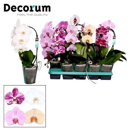 Растения хищники, Орхидеи фаленопсис оптом из Голландии, Азии, ЕС