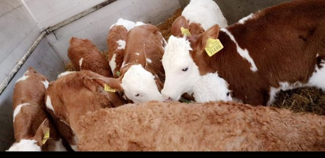 Byczki mięsne