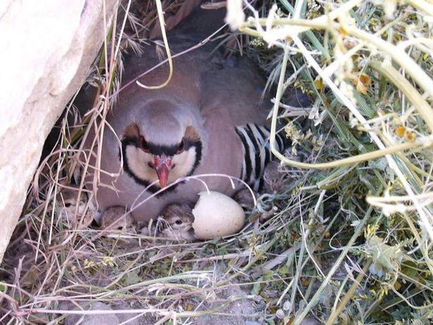Инкубационное яйцо горной куропатки(кеклик)