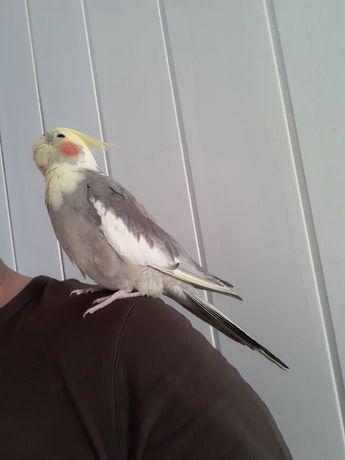 Papuga nimfa samczyk