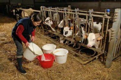 Mięsne opasy jałoszki i byczki