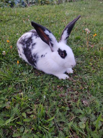Sprzedam króliki samicę