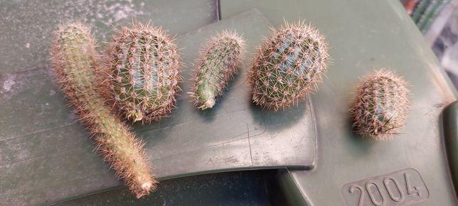 Rośliny kaktusy małe rozsady rosliny