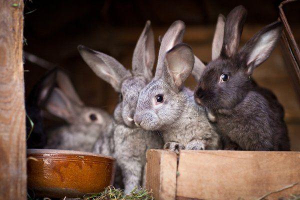 Кролики полтава-великан