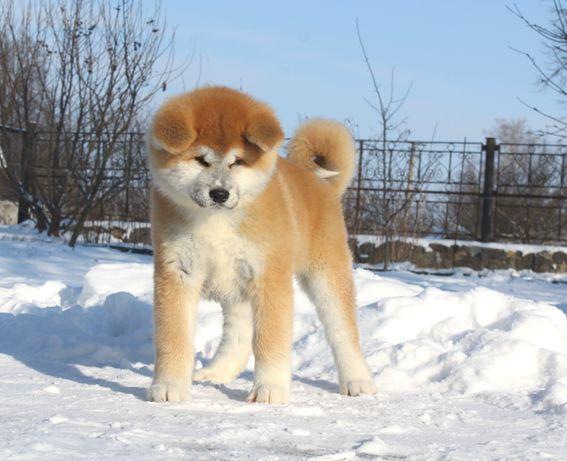 Щенки японской Акита Ину купить щенка цуценя собаку FCI Akita Inu