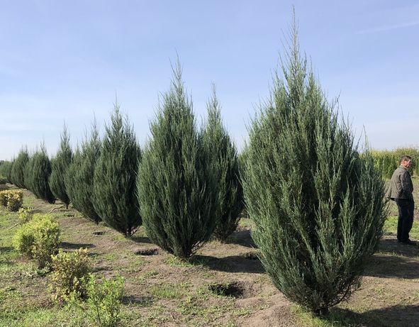 Можжевельник Скайрокет 2,8-3,2м - Juniperus scopulorum Skyrocket